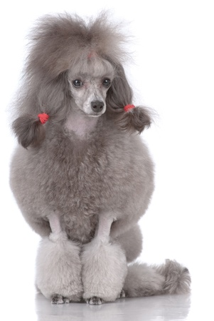 poodle: Portrait of poodle isolated on white Stock Photo