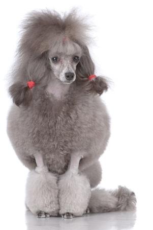 Retrato de poodle aislado en blanco Foto de archivo