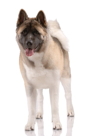 akita: American Akita isolated on white