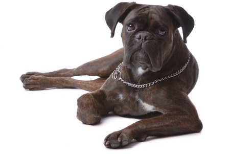 brown haired: Boxer dog isolated on white
