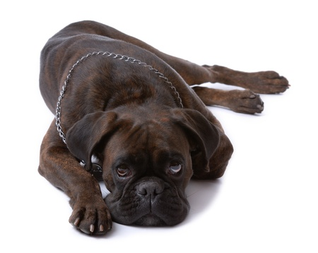 Resting sad boxer dog isolated on white Stock Photo