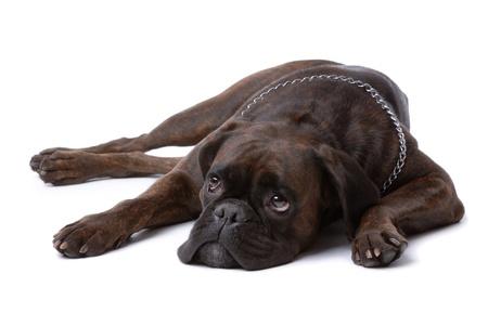 perro boxer: Perro boxer en reposo triste aislado en blanco