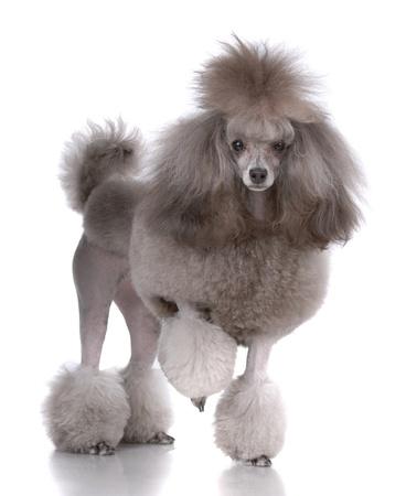 Retrato de poodle aislado en blanco