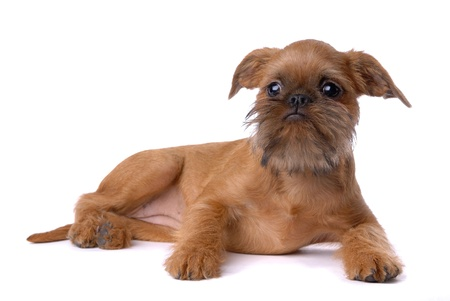 Smooth haired Brussels Griffon puppy isolated on white Stock Photo