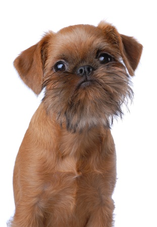 brussels griffon: Smooth haired Brussels Griffon puppy isolated on white Stock Photo
