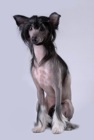 Black Chinese Crested Dog isolated on gray