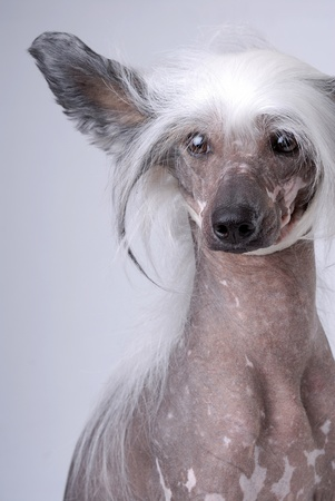 White Chinese Crested Dog on gray
