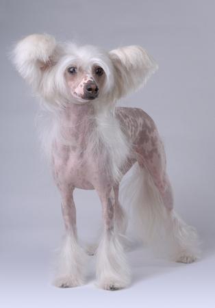 White Chinese Crested Dog isolated on gray photo