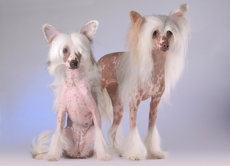 Portrait of two Chinese Crested Dogs