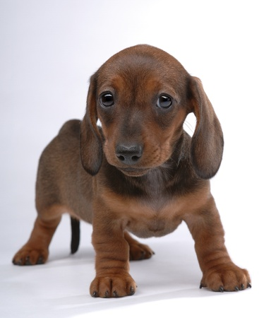 Smooth-haired Dachshund puppy on gray Stock Photo