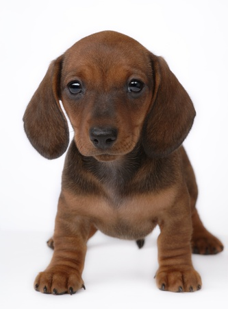 Smooth-haired Dachshund puppy isolated on white Stock Photo