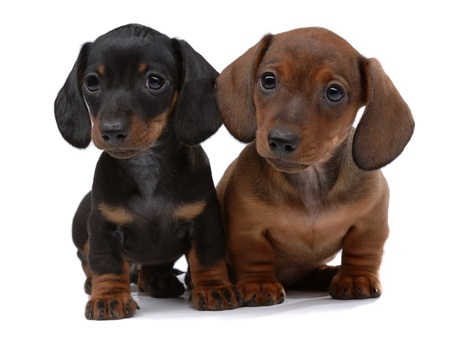 Pair of Smooth-haired Dachshunds isolated on white Stock Photo - 10437193