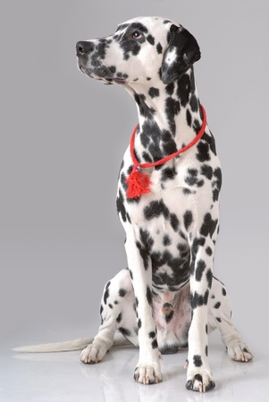 Portrait of Dalmatian on gray Stock Photo