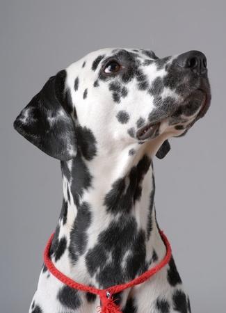 Dalmatian: Portrait of Dalmatian on gray Stock Photo