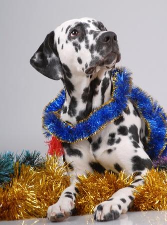 Dalmatian: Portrait of Dalmatian on gray on new year tinsel