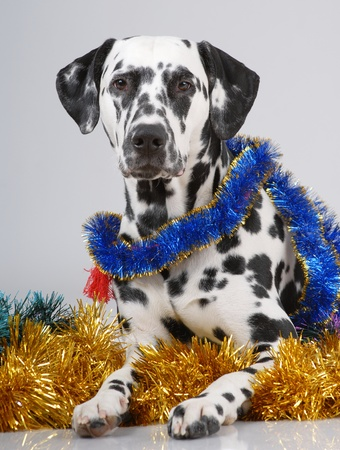 Portrait of Dalmatian on gray on new year tinsel