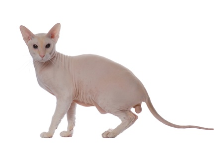 oriental white cat: Peterbald cat, Oriental Shorthairl on white Stock Photo