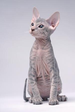 Gray Peterbald cat, Oriental Shorthair Stock Photo