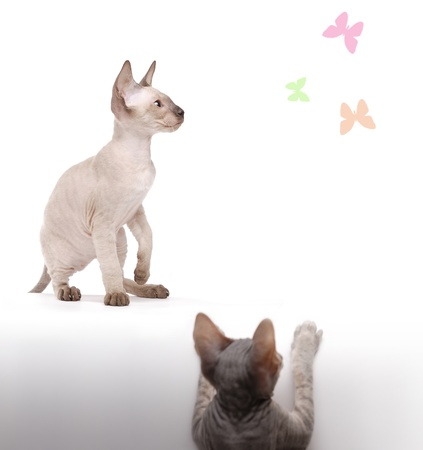 Pair of Peterbald cats, Oriental Shorthair hunting on painted butterflys photo