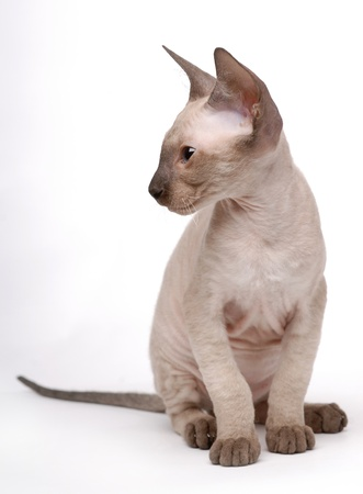 Brown Peterbald cat, Oriental Shorthair