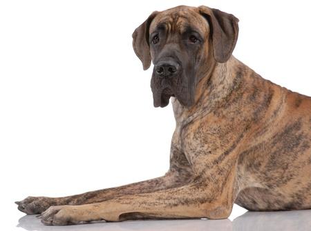 German mastiff isolated on white Stock Photo