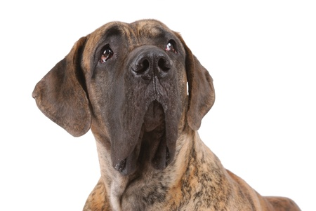 German mastiff isolated on white Stock Photo
