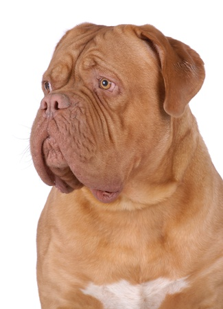 brood: Portrait of Dogue de Bordeaux