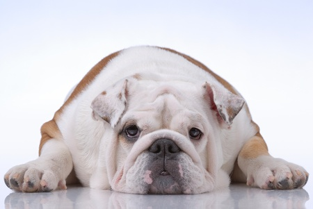 Smooth-haired English Bulldog on light-blue Stock Photo