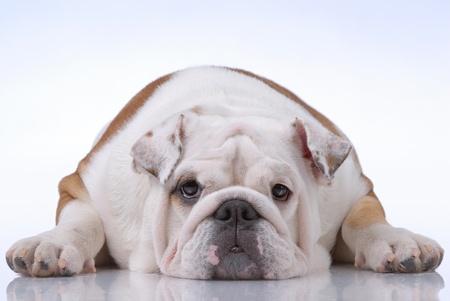 english bulldog: Smooth-haired English Bulldog on light-blue Stock Photo