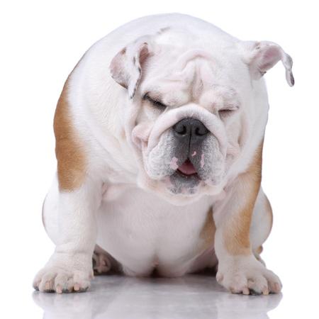 Smooth-haired English Bulldog dozing isolated on white photo