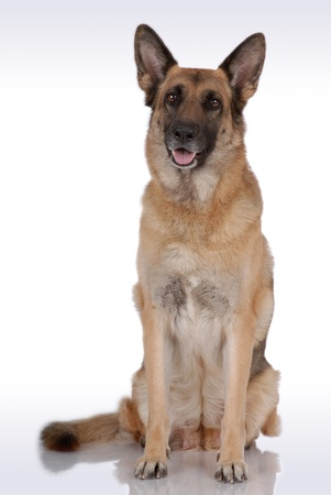 German Shepherd on gray Stock Photo - 10437226