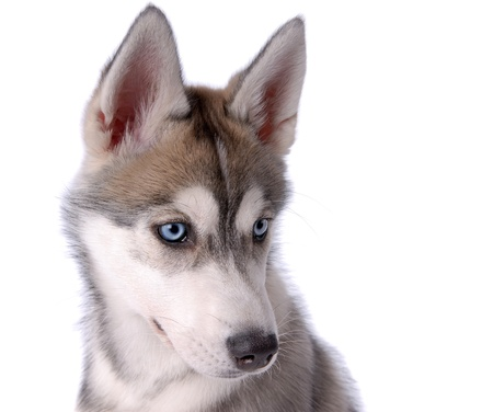 Puppy dog Siberian Husky Stock Photo