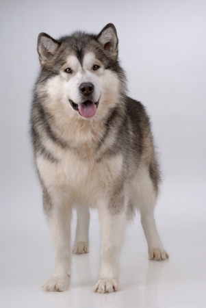 Portrait of Alaskan Malamute on gray