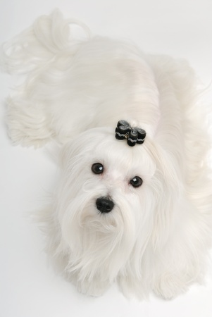 Dog maltese on grey