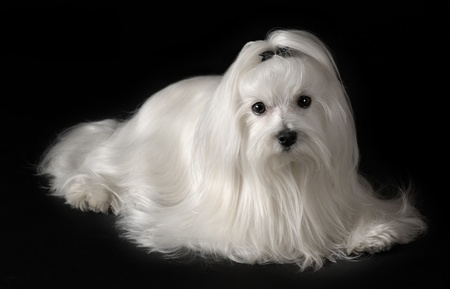 maltese dog: Portrait of maltese dog isolated on black Stock Photo