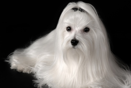 bichon: Portrait of maltese dog isolated on black Stock Photo