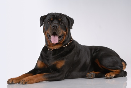 Rottweiler dog on gray