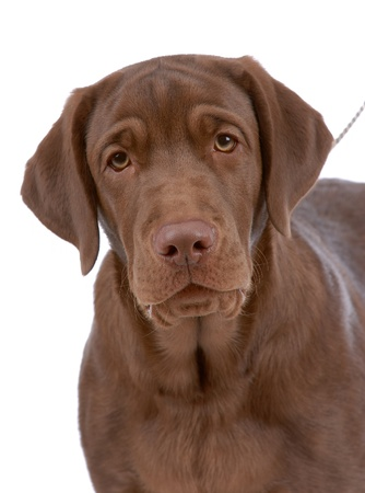 Portrait of labrador-retriever isolated on white