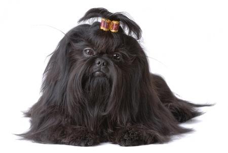 Portrait of Shih Tzu dog isolated on white Stock Photo