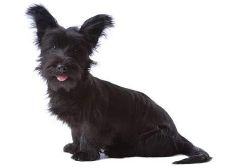 Skye terrier puppy isolated on white Stock Photo