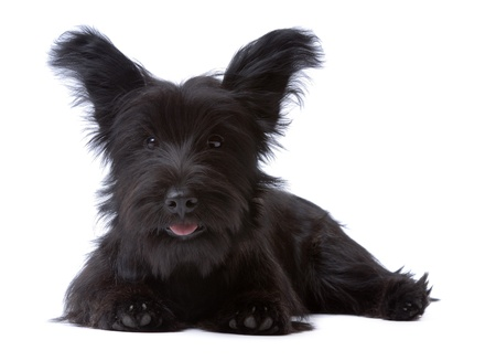 Skye terrier puppy isolated on white Stock Photo - 10558158