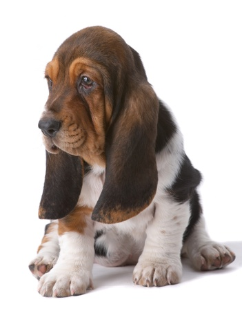 Portrait of basset-haund puppy on gray Stock Photo
