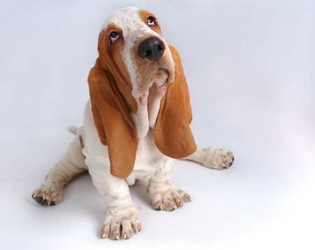 sad dog: Portrait of basset-haund puppy on gray Stock Photo