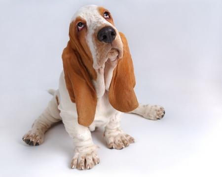 dog nose: Ritratto di basset-haund cucciolo su grigio