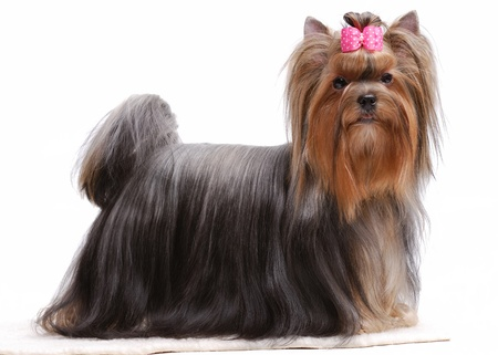 Portrait of yorkshire terrier isolated on white Stock Photo