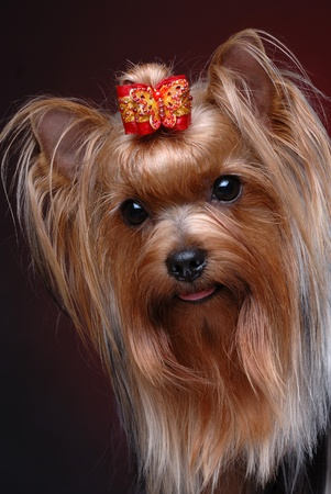 Portrait of yorkshire terrier Stock Photo - 10558181