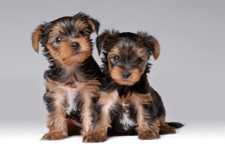 puppies: Portrait of two puppies of yorkshire terrier Stock Photo