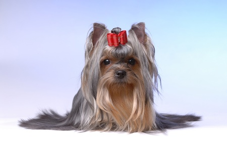 Portrait of yorkshire terrier photo