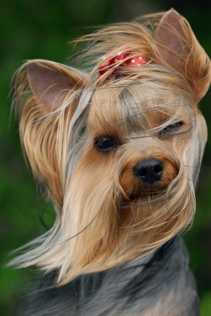 Portrait of yorkshire terrier on the wind