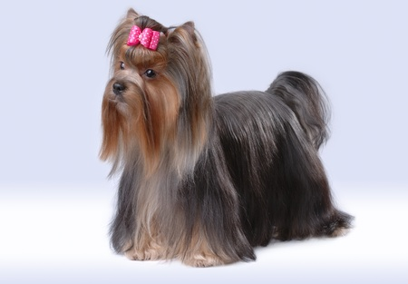 Portrait of yorkshire terrier Stock Photo - 10558166